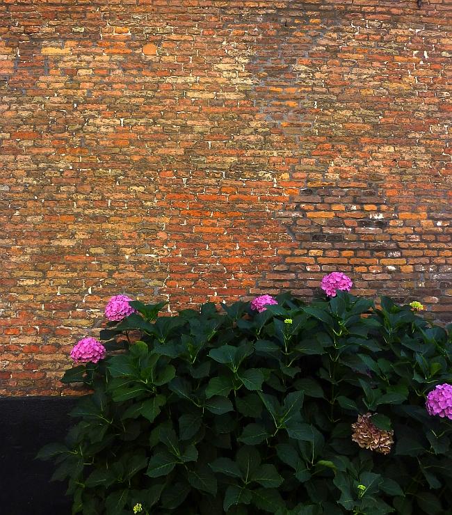 Leuchtende Hortensienbälle in Haarlem | Foto: Sabine Wittig