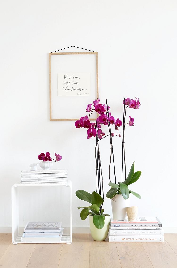 Phalaenopsis deep purple | picture: Sabine Wittig