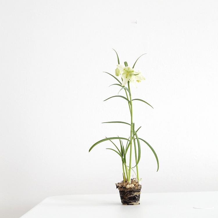 Weiße Schachbrettblume Fritillaria meleagris alba