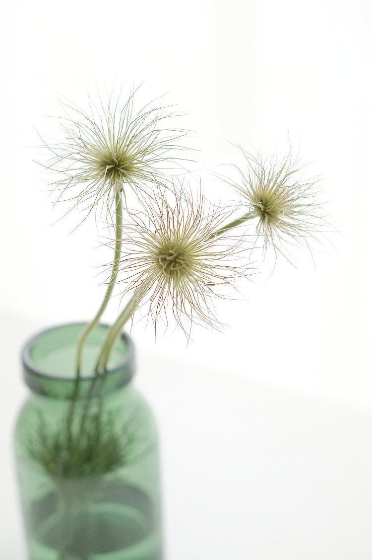 Blütenstände der Küchenschelle | Foto: Sabine Wittig