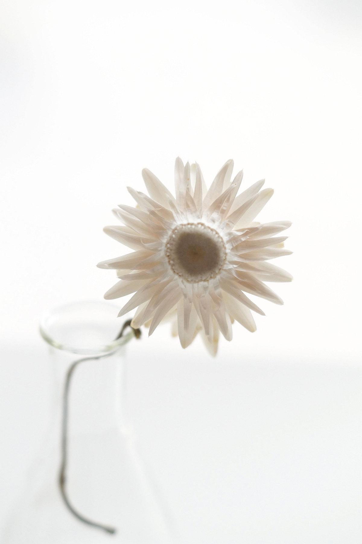 Strohblume | Foto: Sabine Wittig