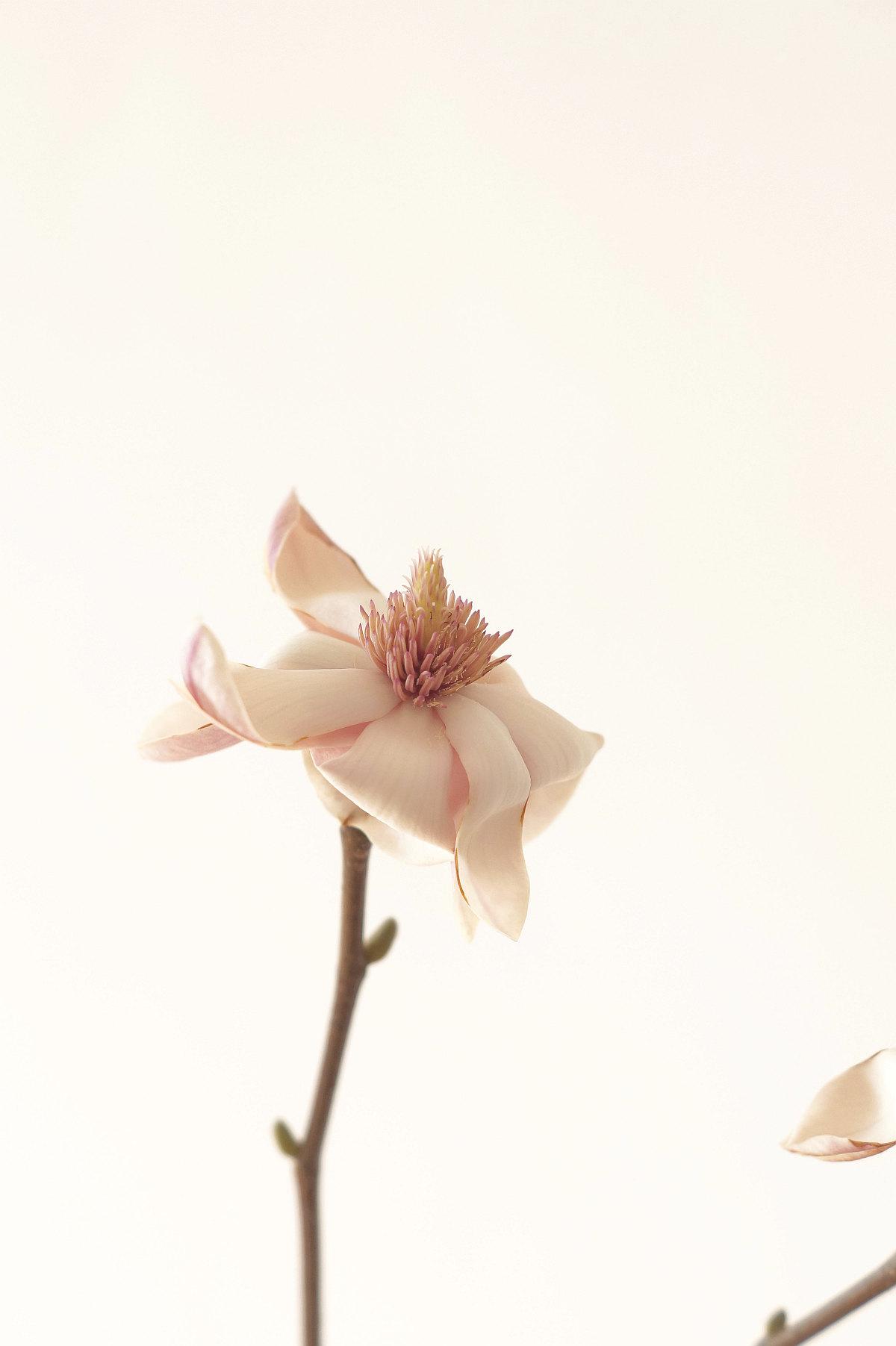 Magnolienblüte | Foto: Sabine Wittig