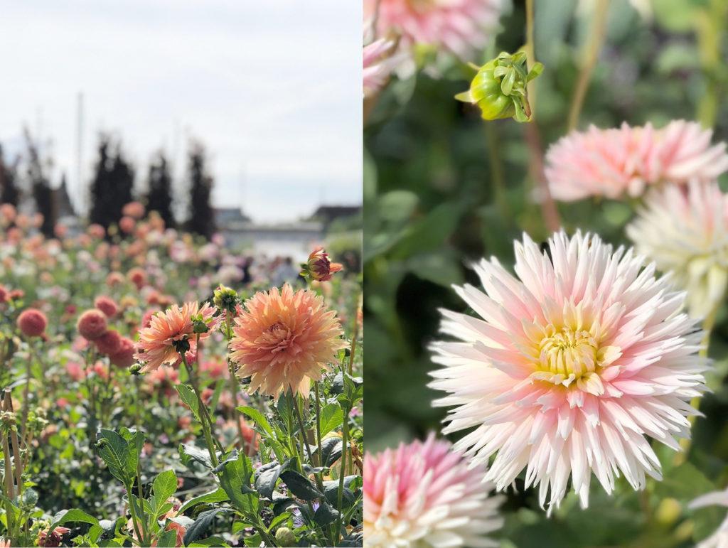 Dahlienblüte Buga Heilbronn 2019